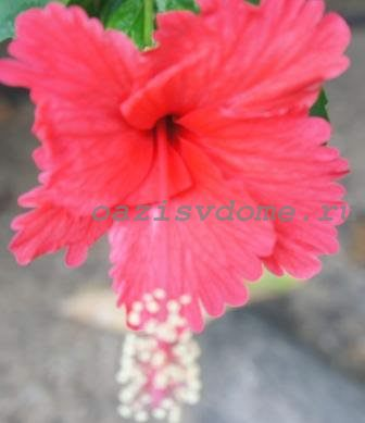 Фото цветка гибискуса