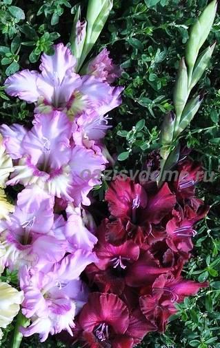 Разноцветные цветы гладиолусов