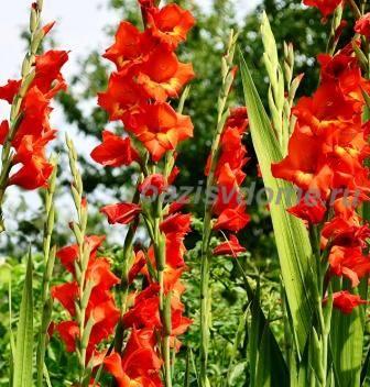 Гладиолусы: посадка и уход весной и летом, уборка и хранение, фото