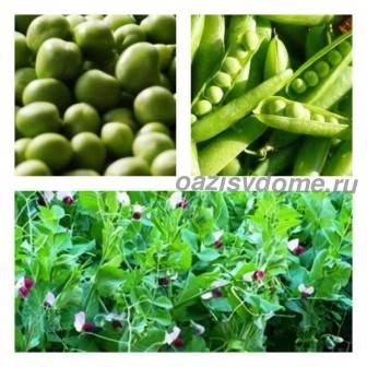 Горох: посадка и уход в открытом грунте, лучшие сорта, болезни и вредители