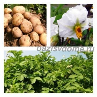 Картофель: посадка и уход, сроки посадки по Лунному календарю, болезни и вредители, лучшие сорта