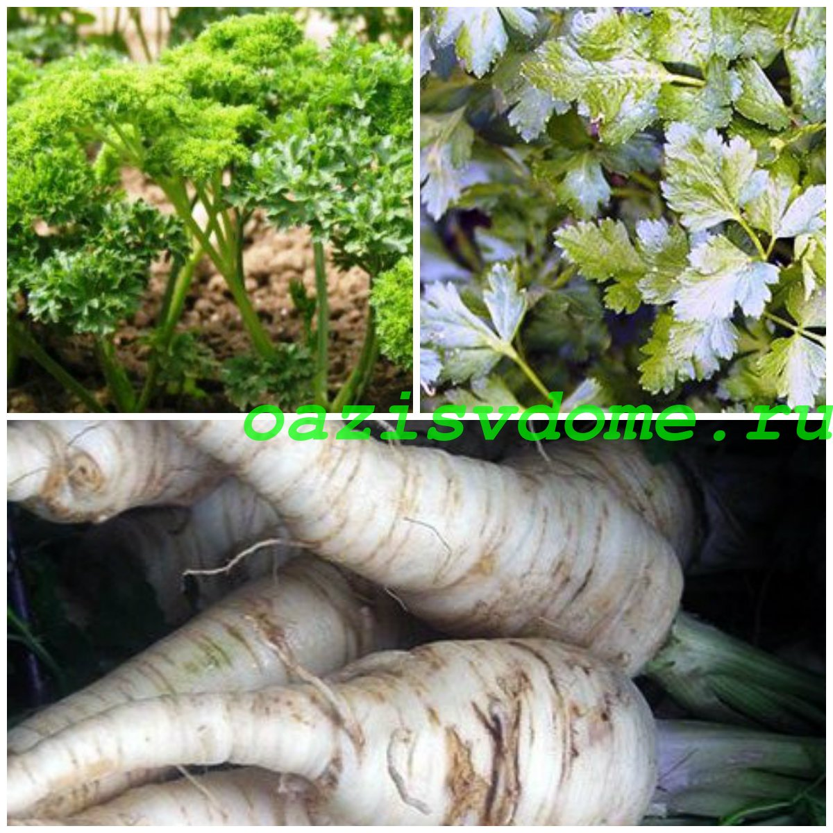 Петрушка: выращивание из семян в открытом грунте и на подоконнике