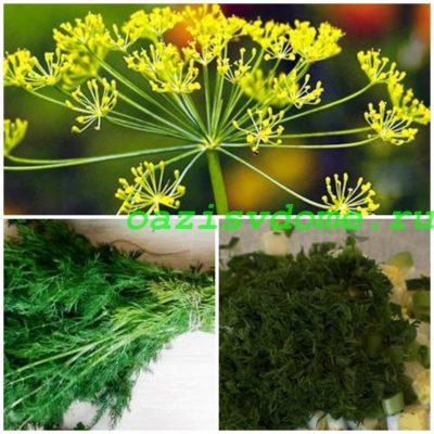 Укроп: выращивание из семян в грунте и на подоконнике, фото, болезни
