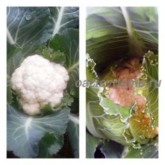 Посадка рассады и уход за цветной капустой в открытом грунте, подкормка, полив и окучивание