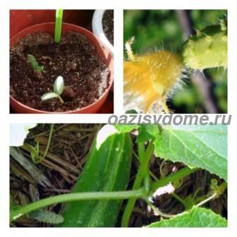 Время и способы посадки огурцов в открытый грунт: высадка рассады и посев семян, подготовка почвы и грядки