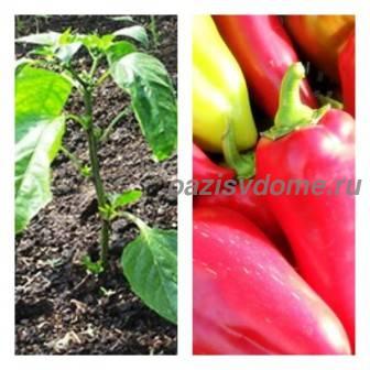 Посадка перца в открытый грунт: схема и на какую глубину сажать рассаду, подготовка почвы и грядок под перец