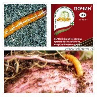 Как избавиться от проволочника в огороде народными средствами и химическими препаратами