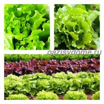 Выращивание салата в открытом грунте и теплице, сорта и сроки посадки