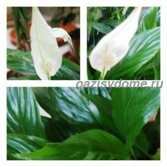 Что делать если спатифиллум не цветет, а только выпускает листья