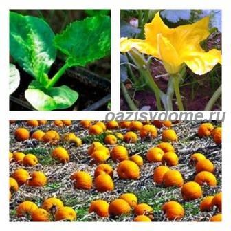 Когда и как правильно сажать семена тыквы на рассаду и в открытый грунт, выращивание и уход за тыквой