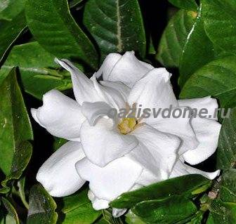 Фото цветка гардении