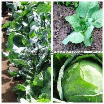 Подкормка капусты после посадки в открытый грунт: народные удобрения под капусту