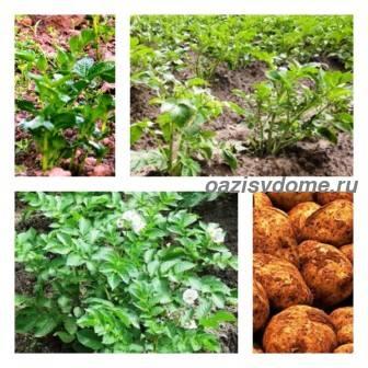 Когда и чем подкормить картофель для роста клубней и хорошего урожая