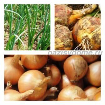 Правильный полив лука: как часто и сколько нужно поливать лук, соль и нашатырь от луковой мухи