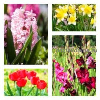 Когда выкапывать и как сохранить луковицы тюльпанов, нарциссов, гиацинтов, лилий, гладиолусов, крокусов