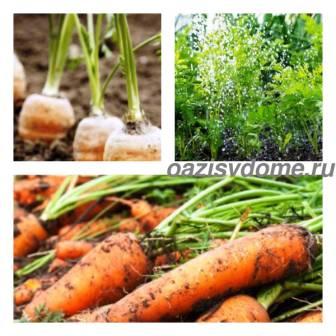 Правильный полив моркови в открытом грунте: как часто и правильно надо поливать морковь