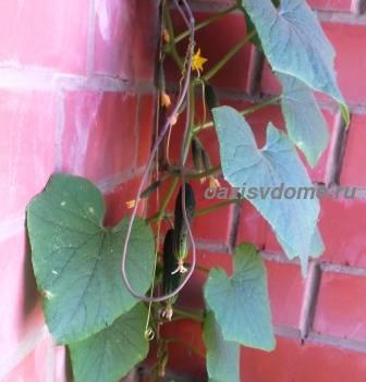 Подвязанный к шпалере огурец на балконе
