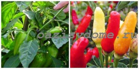 Правильный полив и подкормка перцев для роста и хорошего урожая в теплице и открытом грунте