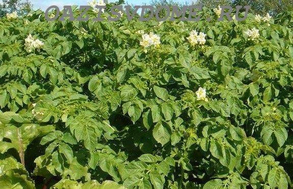 Картофель во время цветения
