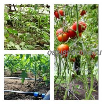 Как правильно и часто надо поливать в теплице помидоры для хорошего урожая, способы полива томатов в теплице