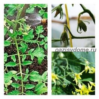 Чем подкормить и опрыскать помидоры для завязи: народные средства и применение препарата Завязь