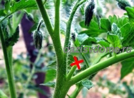 пенек от пасынка на помидоре