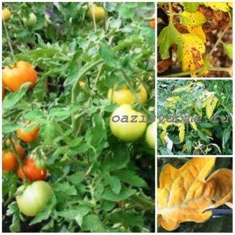 Желтеют помидоры в открытом грунте и теплице: что делать, основные причины пожелтения листьев у томатов