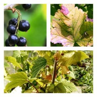 Желтеют листья смородины в мае, июне: что делать, народные средства