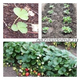 Посадка усов клубники летом и осенью: какие усы выбрать, как подготовить грядку и как посадить