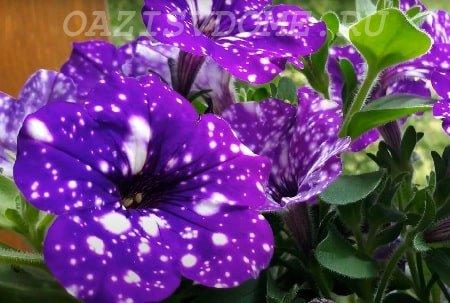 Подкормка петунии для цветения и роста