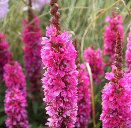 Садовый цветок дербенник