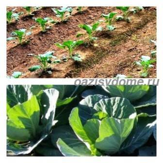 Правильный полив капусты в открытом грунте