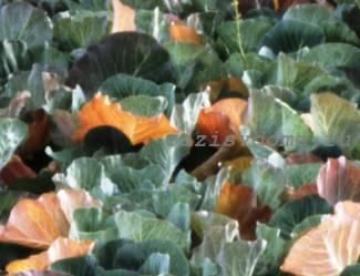 Почему листья капусты могут желтеть, сохнуть или вянуть