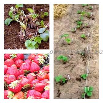 Пересадка клубники летом, осенью, весной на новое место: виды грядок для земляники и деление кустов