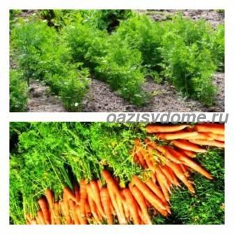 Подкормка моркови народными средствами