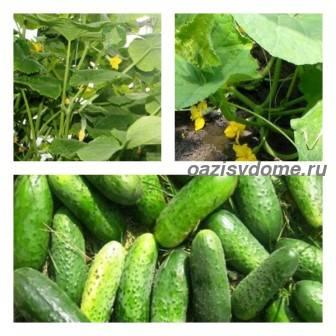 Чем подкормить огурцы летом в период цветения и плодоношения, чтобы был хороший урожай