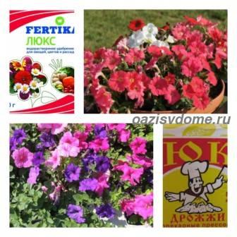 Подкормка петунии для роста и обильного цветения: когда и как подкормить петунию народными средствами и удобрениями