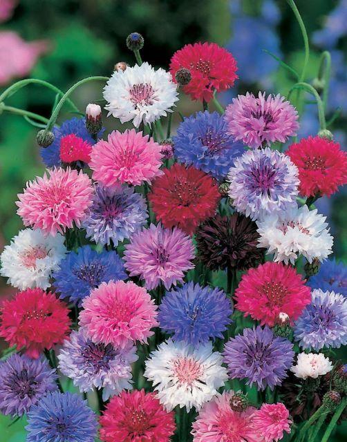 Садовый цветок многолетний василек