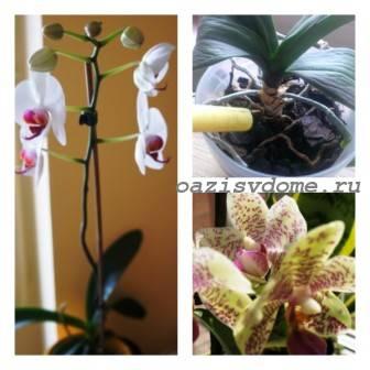 Правильный полив орхидей в домашних условиях: сколько раз, как правильно, фото