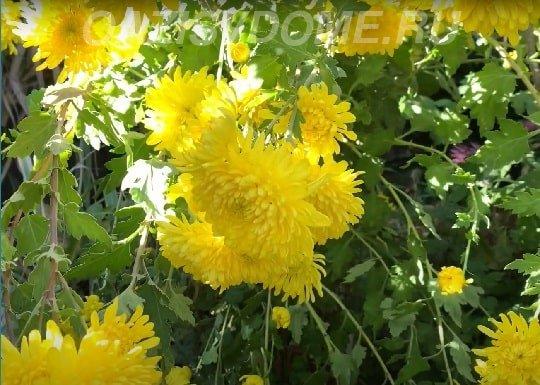 Хризантема Золотое руно