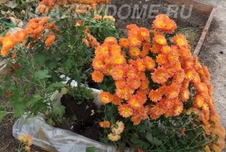 Хризантема осенью