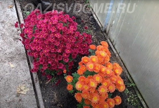 Хризантема подготовка к зиме