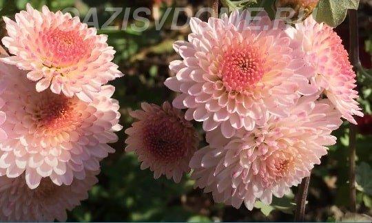 Хризантема славяночка
