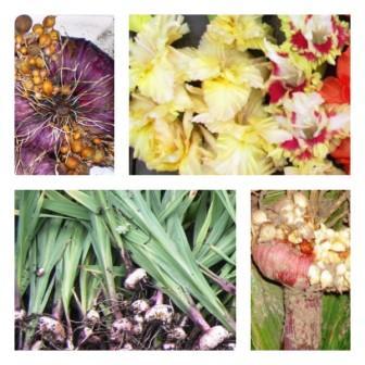 Уборка гладиолусов, хранение луковиц до посадки зимой в домашних условиях