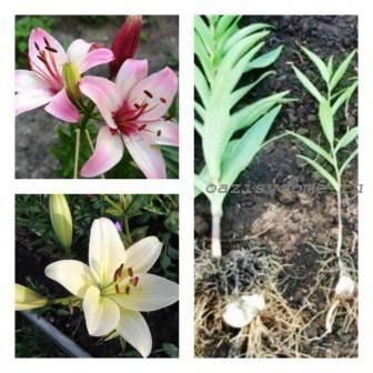 Лилии: когда выкапывать луковицы и высаживать, как хранить до посадки