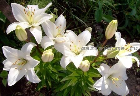 Белые лилии в саду