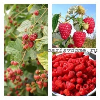 Подкормка малины в августе и осенью после сбора урожая и обрезки