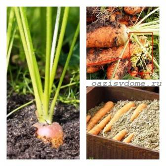 Когда убирать морковь с грядки на хранение в Сибири, Подмосковье, на Урале