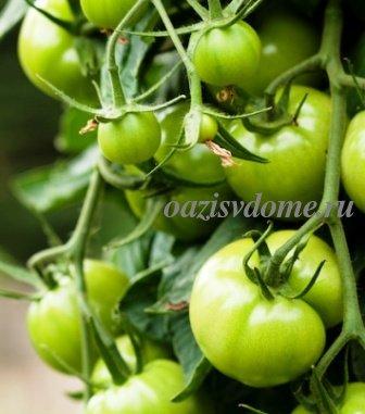 Зеленые помидоры на кустах