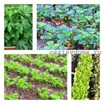 Что посадить на грядке после чеснока в июле, августе, сентябре, на следующий год весной